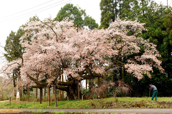 那須烏山市 辰街道桜